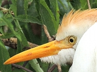 Cattle Egret image