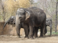 Asiatic Elephant image