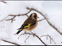 European Goldfinch image