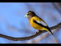 Evening Grosbeak image