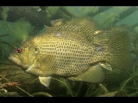 Rock Bass image