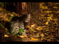 Fishing Cat image