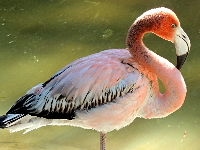 Greater Flamingo image