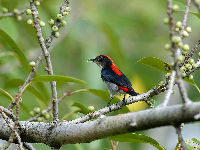 Scarlet-backed Flowerpecker image
