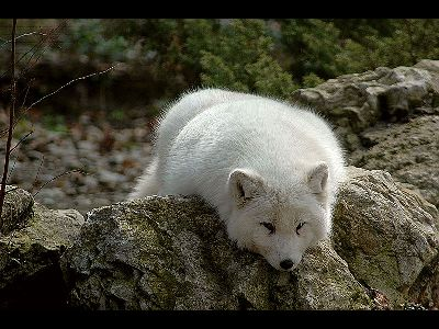 Fox  -  Arctic Fox