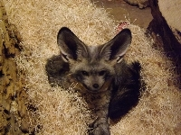 Bat-eared Fox image
