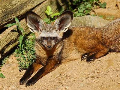 Fox  -  Bat-eared Fox