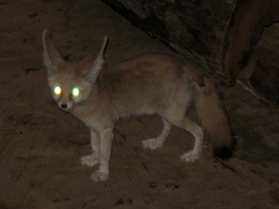 Fox  -  Fennec Fox
