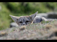 Kit Fox image