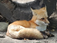 Red Fox image