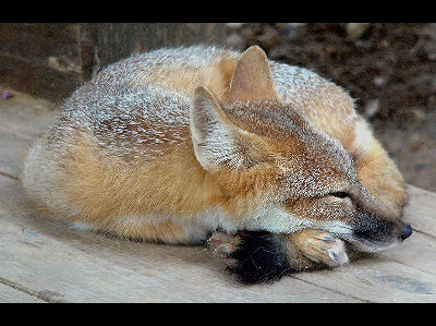 Fox  -  Swift Fox