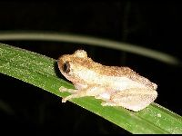 Greater Leaf-folding Frog image