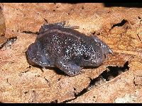 Mexican Burrowing Toad image
