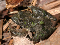 Northern Cricket Frog image