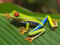 Red-eyed Treefrog image