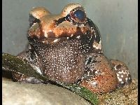 Smoky Jungle Frog image