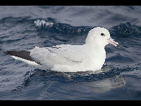 Southern Fulmar image