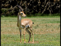 Mountain Gazelle image