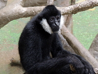 Northern White-cheeked Gibbon image