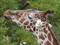 Reticulated Giraffe image