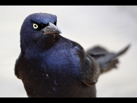 Great-tailed Grackle image
