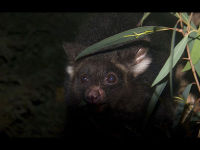 Greater Glider image