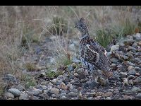 Grouse image
