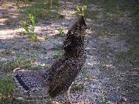 Ruffed Grouse image