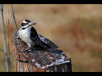 Hairy Woodpecker image