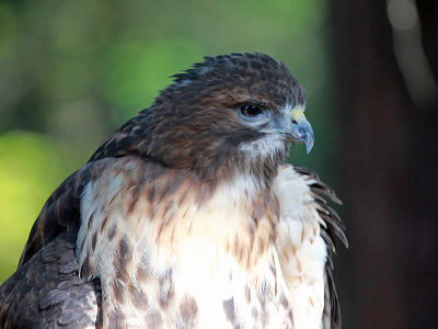 Hawk  -  Broad-winged Hawk