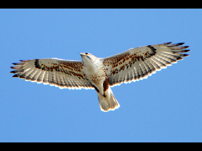 Hawk  -  Ferruginous Hawk