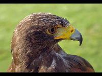 Harris's Hawk image
