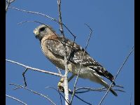 Red-shouldered Hawk image