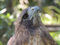 Red-tailed Hawk image
