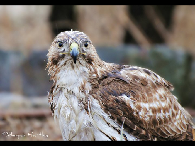 Hawk  -  Red-tailed Hawk