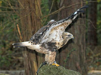 Rough-legged Hawk image