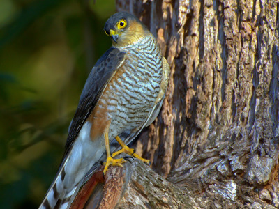 Hawk  -  Sharp-shinned Hawk