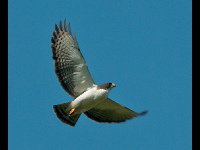 Short-tailed Hawk image