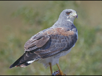 White-tailed Hawk image