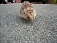 European Hedgehog image
