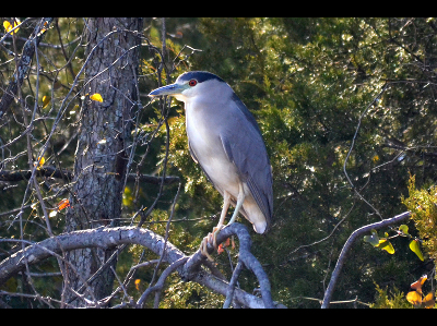 heron/heron_Black-crowned_Night_Heron