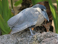 Boat-billed Heron image