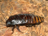 Hissing Cockroach image