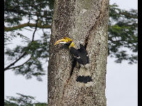 Great Indian Hornbill image