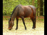 Danish Warmblood image