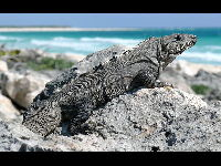 Black Spiny-tailed Iguana image