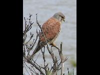 Common Kestrel image
