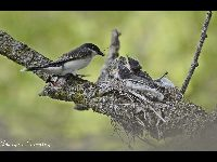 Eastern Kingbird image
