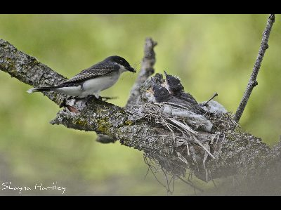 Kingbird  -  Eastern Kingbird