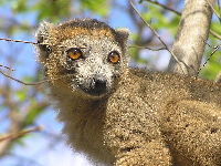 Crowned Lemur image